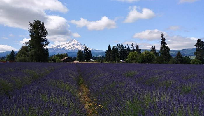 Scenic view of a lavender field with trees and mountains in the background