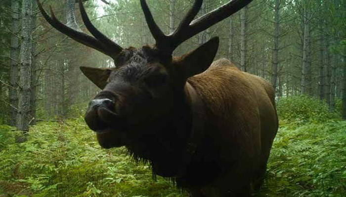 Close-up view of an elk standing in a lush forest
